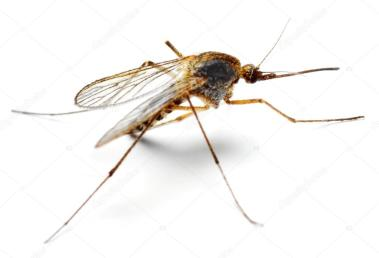 depositphotos_33577679-stock-photo-anopheles-mosquito